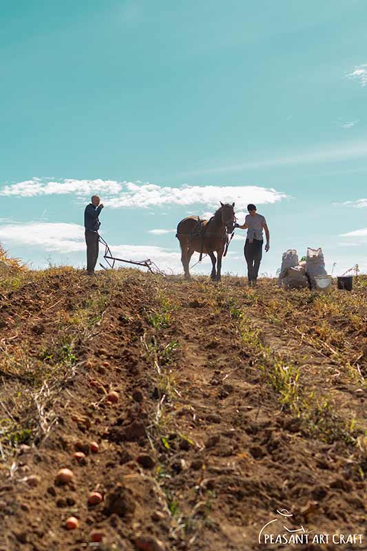 Harvesting Potatoes With Horsedrawn Plow