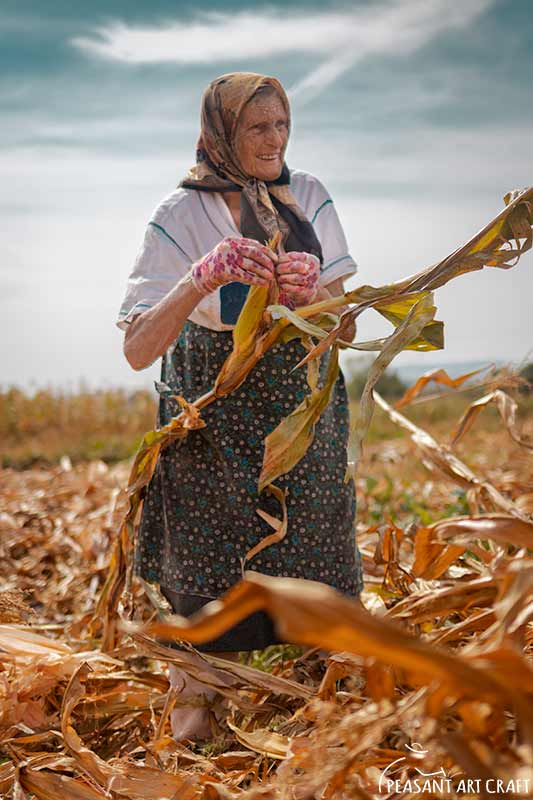 harvesting corn by hand