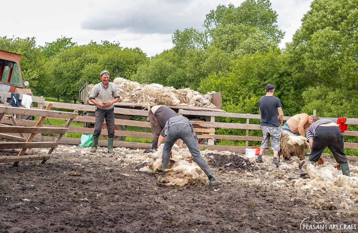 Sheep Shearing at Romanian Sheepfold